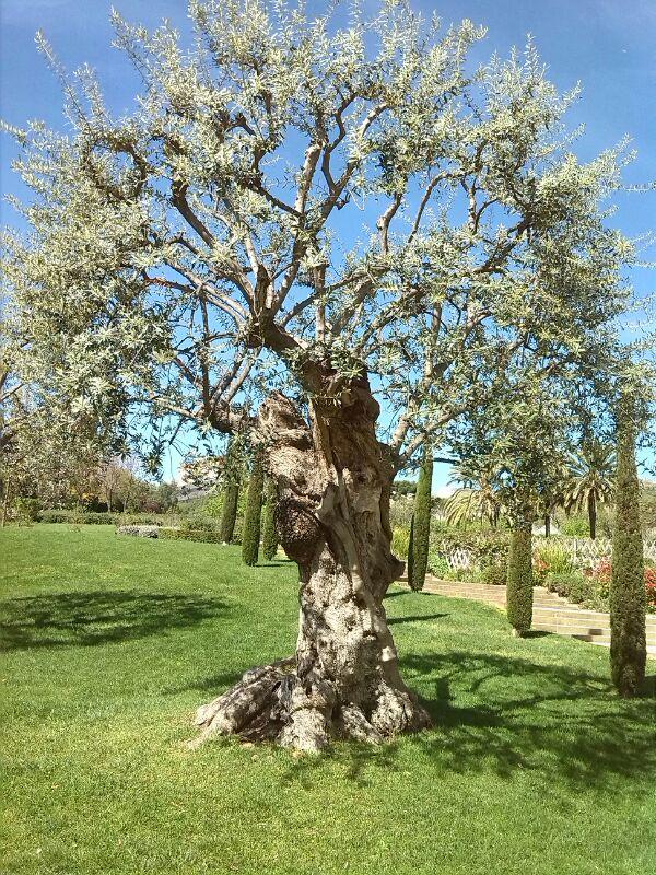 Olivo en un Jardín