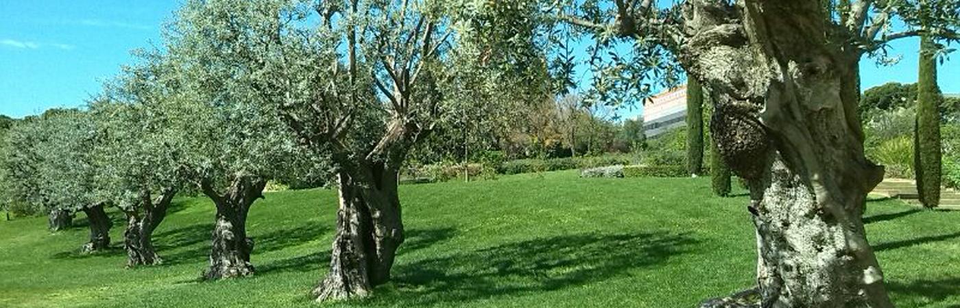 Los olivos como planta de jardín