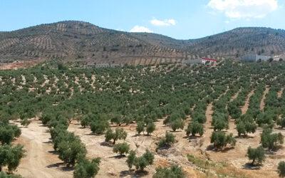 El mercado del aceite de oliva en España