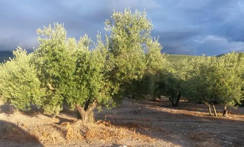 El olivo: Un árbol con gran simbolismo