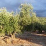 Variedades de aceitunas en Italia