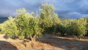 olivo italia aceite