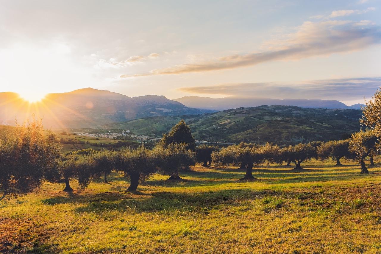 olivar aceite oliva virgen extra